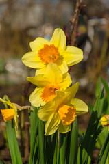 Daffodil on blurred background