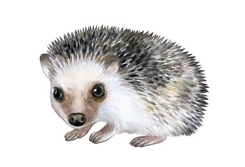 Hedgehog animal isolated on white background. Watercolor. Illustration. Template. Hand drawing. Clipart. Close-up