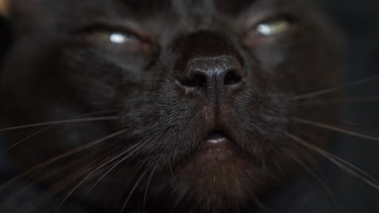 close-up of the nose of a black cat. the cat sniffs something.
