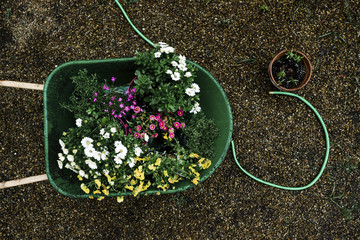 High angle view of flowering plants in wheelbarrow at backyard