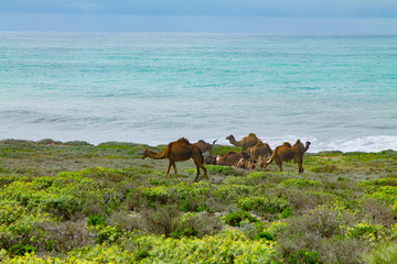 A herd of camels in a pasture on the shores of the Atlantic Ocean. Africa Morocco Agadir
