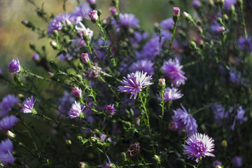Perennial Aster -flowering lilac autumn flowers in the garden background
