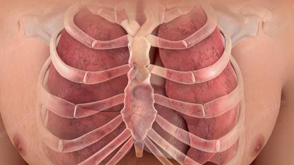 Cardiopulmonary System heart lungs