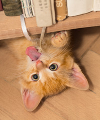 Playful ginger kitten with pink tongue. Domestic cat 8 weeks old. Felis silvestris catus. Small tabby kitty lying on back under bookcase. Tiny roguish pet playing with a bound bookmarks. Eye contact.