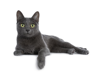 Spoed Fotobehang Kat Silver tipped blue adult Korat cat laying down side ways with one paw hanging over edge and looking straight at camera with green eyes, isolated on white background