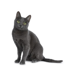 Silver tipped blue adult Korat cat sitting up and looking straight at camera with green eyes, isolated on white background