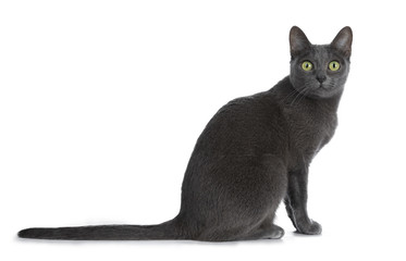Wall Mural - Silver tipped blue adult Korat cat sitting side ways and looking straight at camera with green eyes, isolated on white background
