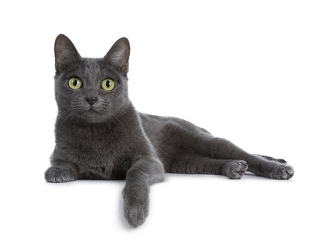 Silver tipped blue adult Korat cat laying down side ways with one paw hanging over edge and looking straight at camera with green eyes, isolated on white background
