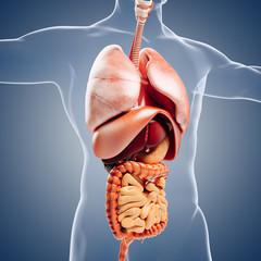 3d man render,  anatomy showing  internal organs