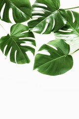 Tropical palm leaf Monstera isolated on white background. Flat lay, top view, copy space