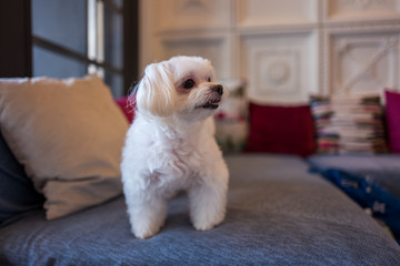 A cute white dog in Hualien, Taiwan