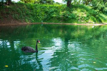 A black swan on a lake in Tainan, Taiwan.