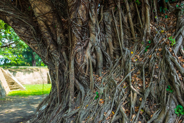 Large tree with roots in Tainan, Taiwan.