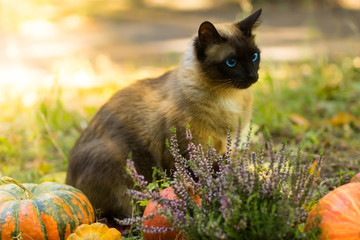 Cute cat sitting with Halloween pumpkins
