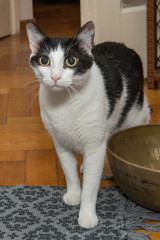 A young male black and white colored cat
