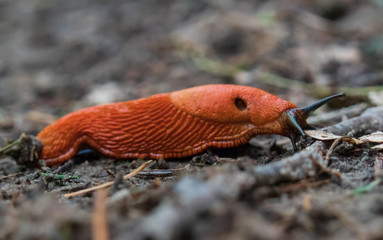 Red Slug close-up