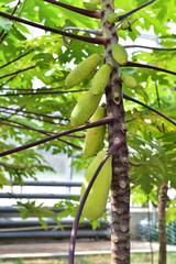 Papaya in the tree