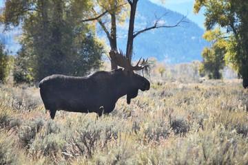 Bull Moose Silhouette