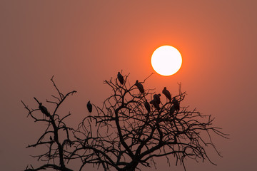 silhouette photo group of great egret birds stay on dead tree/sunset time