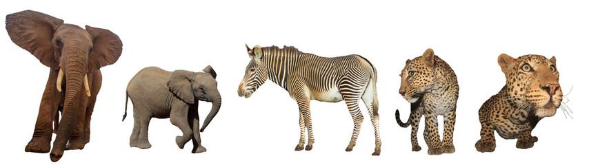 African wildlife isolated. Elephant, Zebra and Leopards on white background