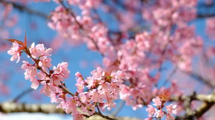 Wall Mural - Sakura, cherry blossoms flower in spring
