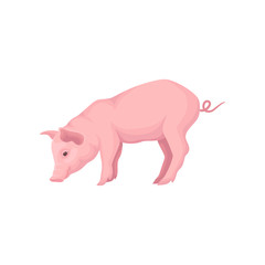 Vector icon of stranding pink pig isolated on white background. Farm animal with flat snout, big ears and curled tail