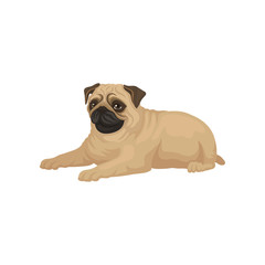 Cute pug puppy lying isolated on white background. Small dog with short muzzle, beige coat and shiny eyes. Flat vector icon