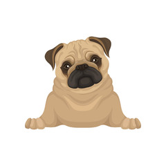 Portrait of lying pug puppy, front view. Small dog with beige coat, adorable wrinkled muzzle and shiny eyes. Flat vector design