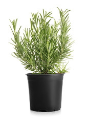 Pot with fresh aromatic rosemary on white background