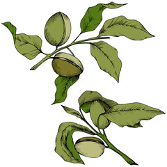 Green almond in a vector style isolated. Full name of the plant: almond. Vector flower for background, texture, wrapper pattern, frame or border.