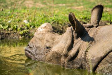 rhinoceros in the lake. the nyiregyhaza zoo