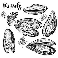 Mussels vector illustration. Seafood sketches. Isolated engvaving of clams.