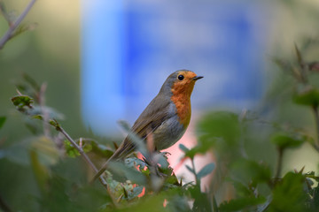Robin (redbreast) close up with blue traffic sign in the background