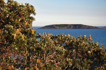 Wall Mural - Australian Coastline banksia foreground with Muttonbird Island Coffs Harbour