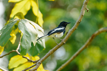 Oriental magpie robin is hang on the branch of tree in the afternoon