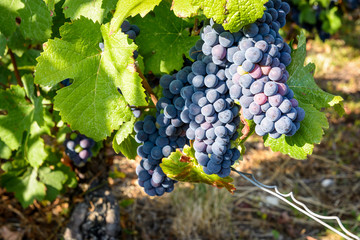 Large bunches of mature pinot noir grapes on an old vine stock in a Champagne vineyard, illuminated by the warm sunlight of late afternoon. Fototapete