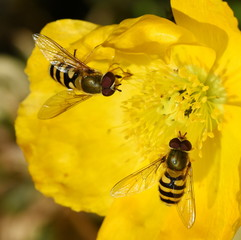 Two hoverflies Syrphus ribesii sitting on a yellow poppy flower