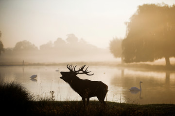 A red deer stands in the early morning mist in Bushy Park in London