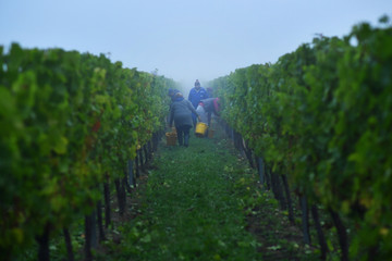 Migrant workers pick grapes at a vineyard in Aylesford