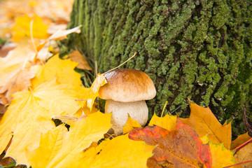 white mushroom in autumn leaves