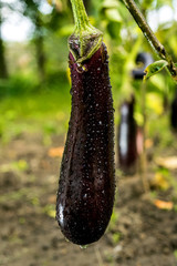 Growing the ripe purple eggplant  in vegetable garden