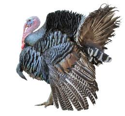large turkey male isolated on white