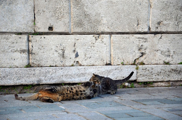 Istanbul street cats. Kittens faithing and playing near old stone wall