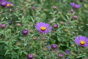 New England Aster Flowers in Bloom