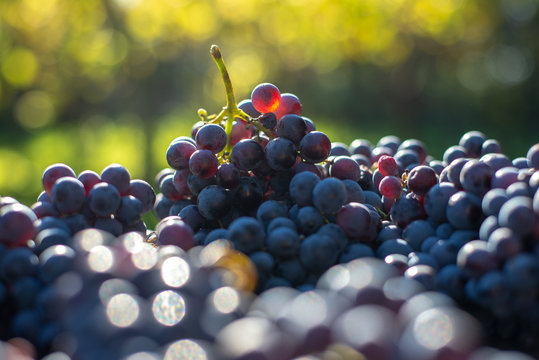 Blue vine grapes. Grapes for making wine. Detailed view of Cabernet Franc blue grape vines in the hungarian vineyard in autumn