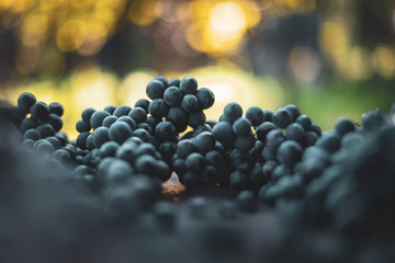 Blue vine grapes. Grapes for making wine. Detailed view of Cabernet Franc blue grape vines in the hungarian vineyard in autumn Fototapete