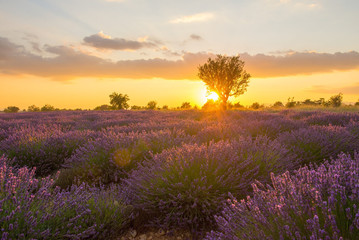 Lavender fields and a lone tree at sunset in Provence, France