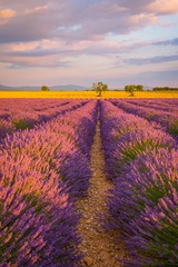 Lavender fields in France at sunset