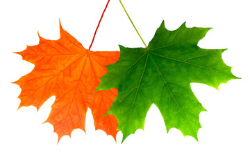two beautiful maple leaves. isolated on white background