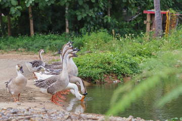 Domestic geese graze on traditional village